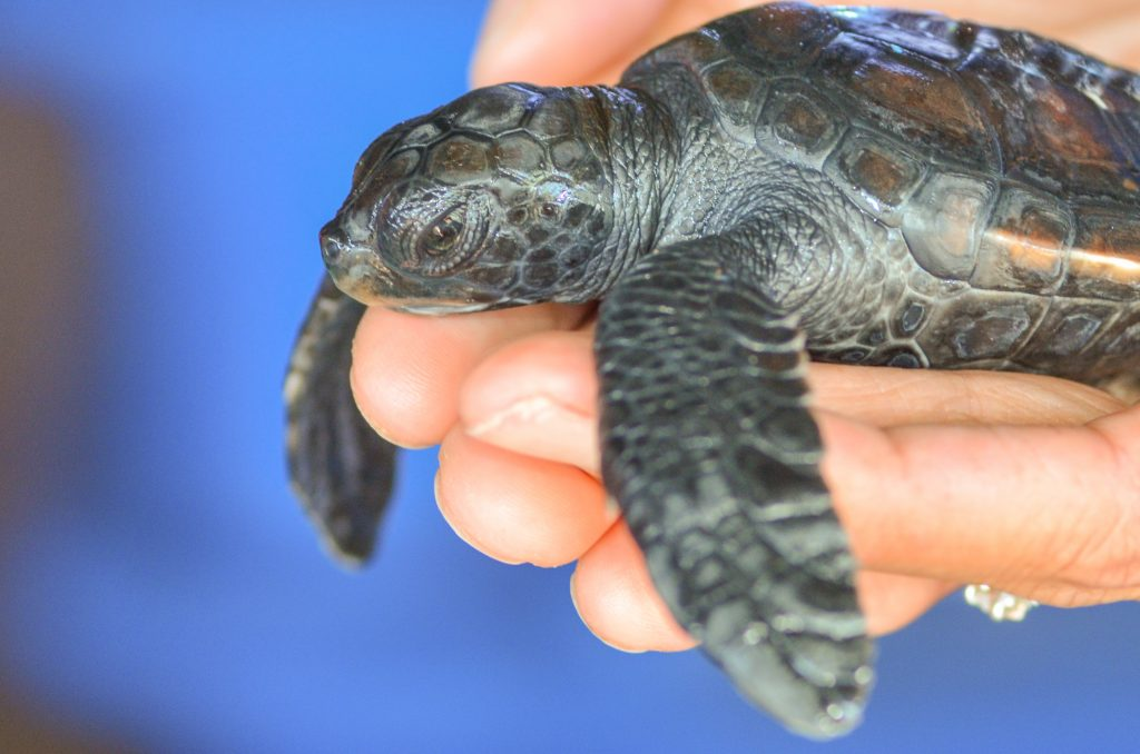 Ahonui Hatchling 2014. Maui Ocean Center, turtle release planned.