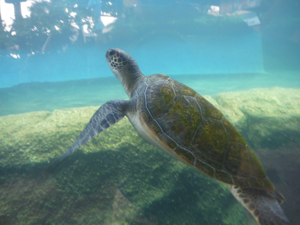 Ahonui Turtle 2016. Maui Ocean Center, turtle release planned.