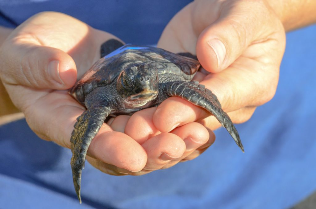 Hila Hatchling 2014. Maui Ocean Center, turtle release planned.