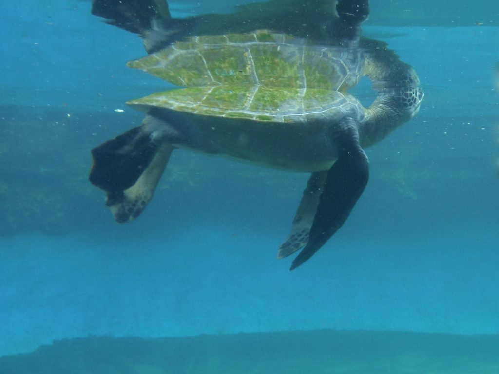 Hila Turtle 2016. Maui Ocean Center, turtle release planned.