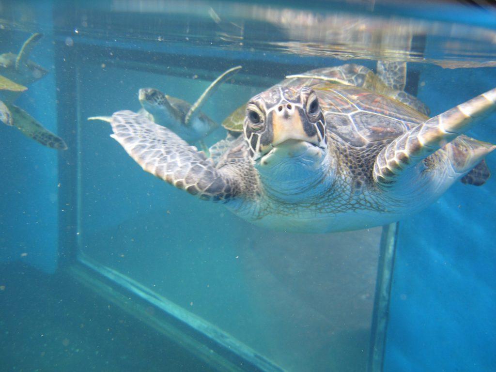 Akahai Turtle 2016. Maui Ocean Center, turtle release planned.
