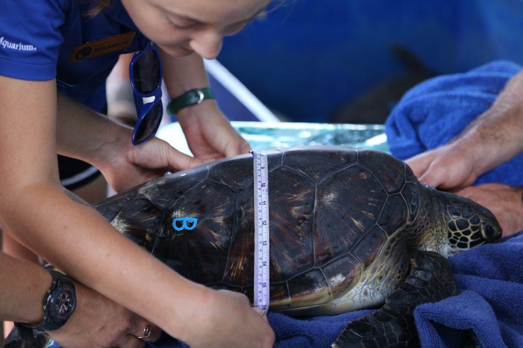 Aquarist Measuring Turtle. Maui Ocean Center, turtle release planned.