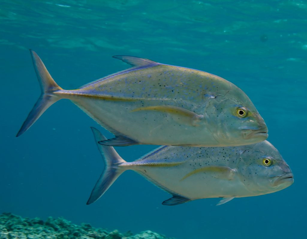 Bluefin Trevally Photographer credit: U.S. Fish and Wildlife Service