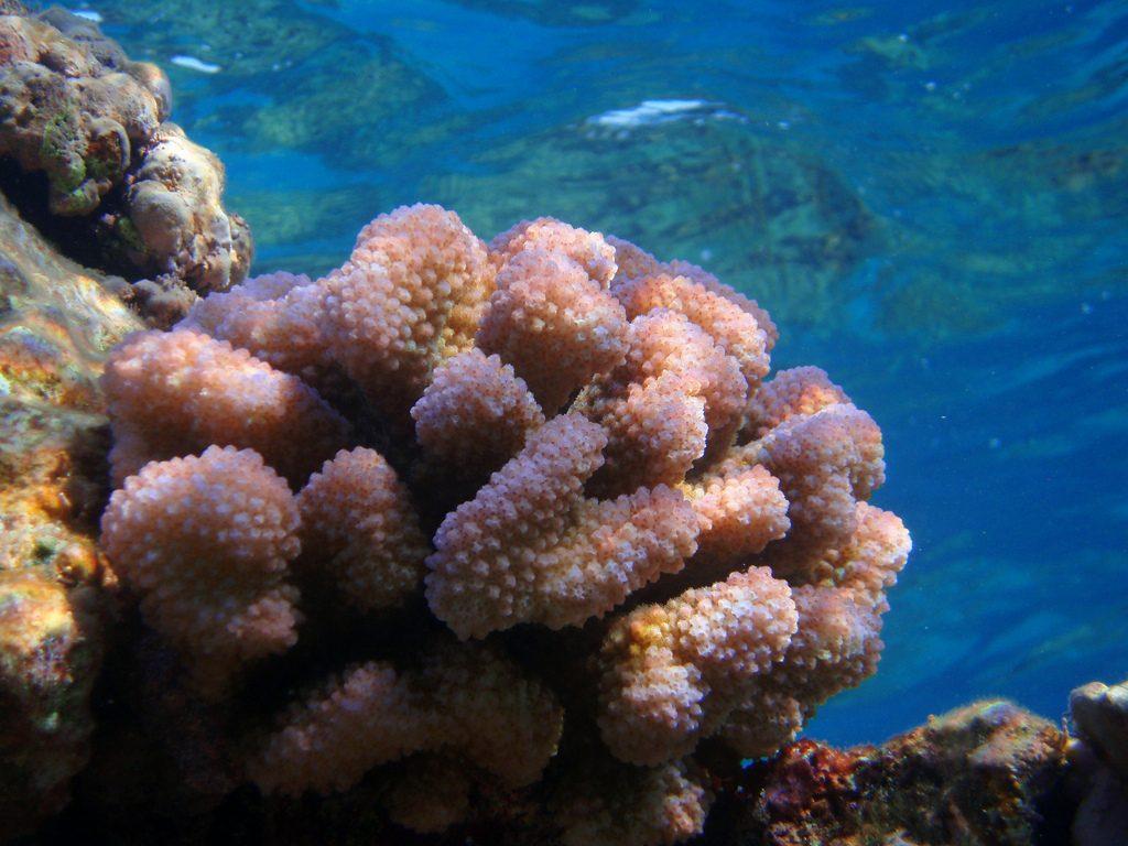 Cauliflower coral Photographer credit: U.S. Fish and Wildlife Service