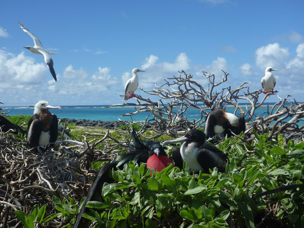 Caption : Gr eat frigatebirds and red-footed boobies Photographer credit: U.S. Fish and Wildlife Service