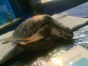 Sleepy baby turtle during Night at the Aquarium, Maui Ocean Center. Photo by Kiaora Bohlool.