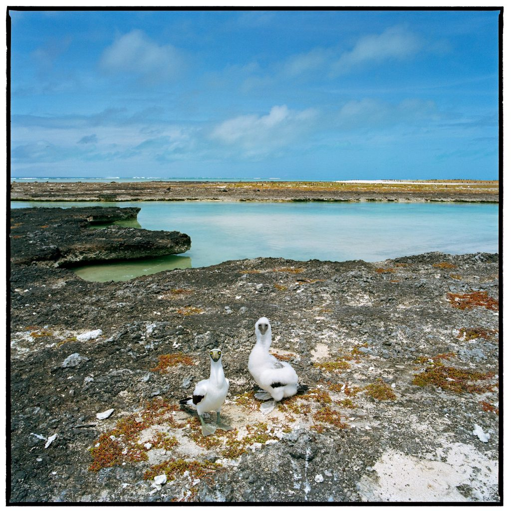 Masked Booby, Southeast Island, Pearl &Hermes Atoll Photographer credit: Susan Middleton Photograph: Southeast Island, Pearl & Hermes Atoll, 21 May 2003 © Susan Middleton