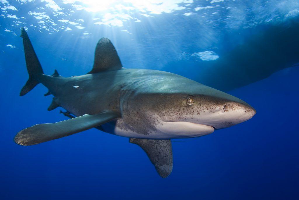 Whitetip shark Photographer credit: Jim Abernethy