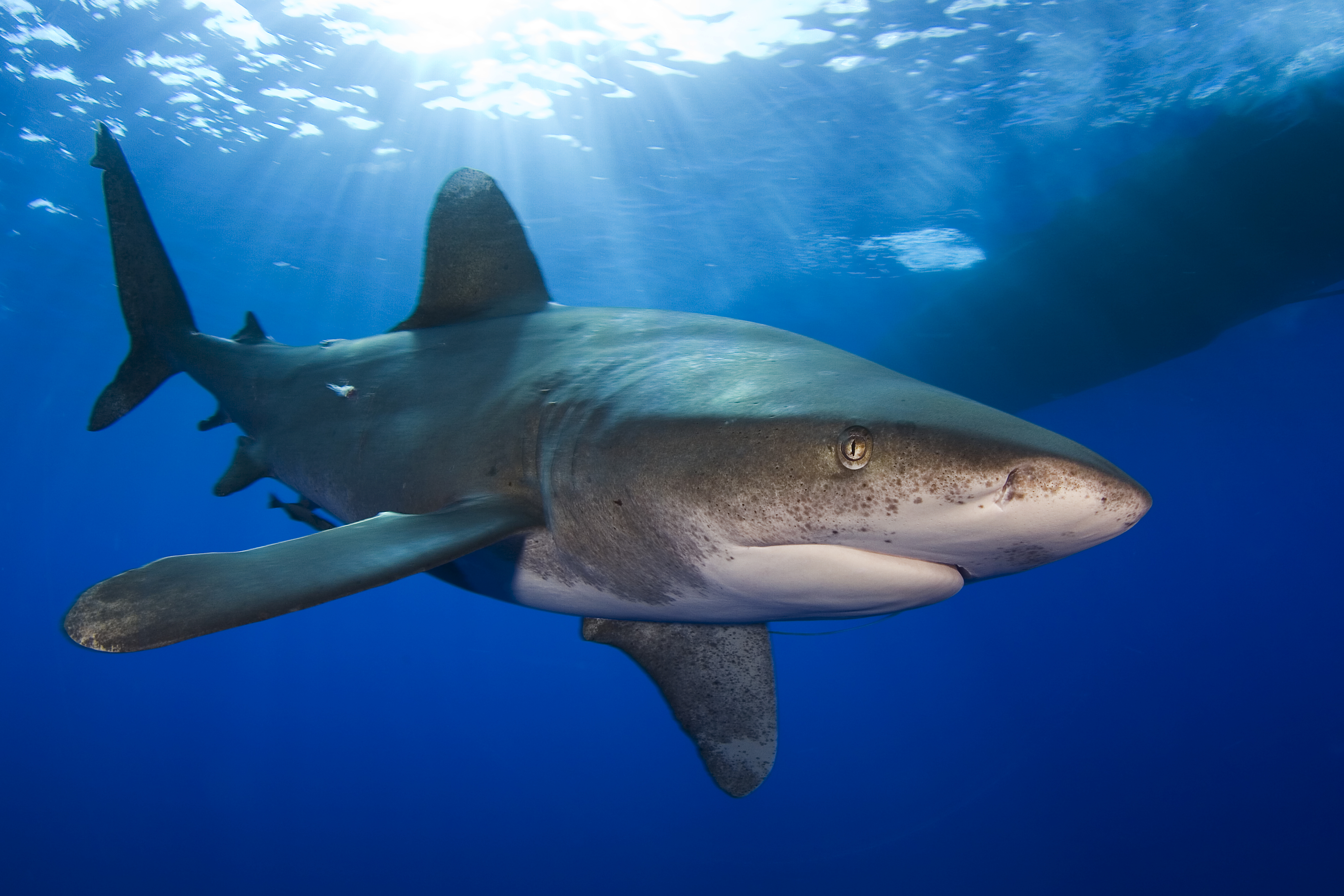 Environmental Groups Seek Protections For Whitetip Sharks