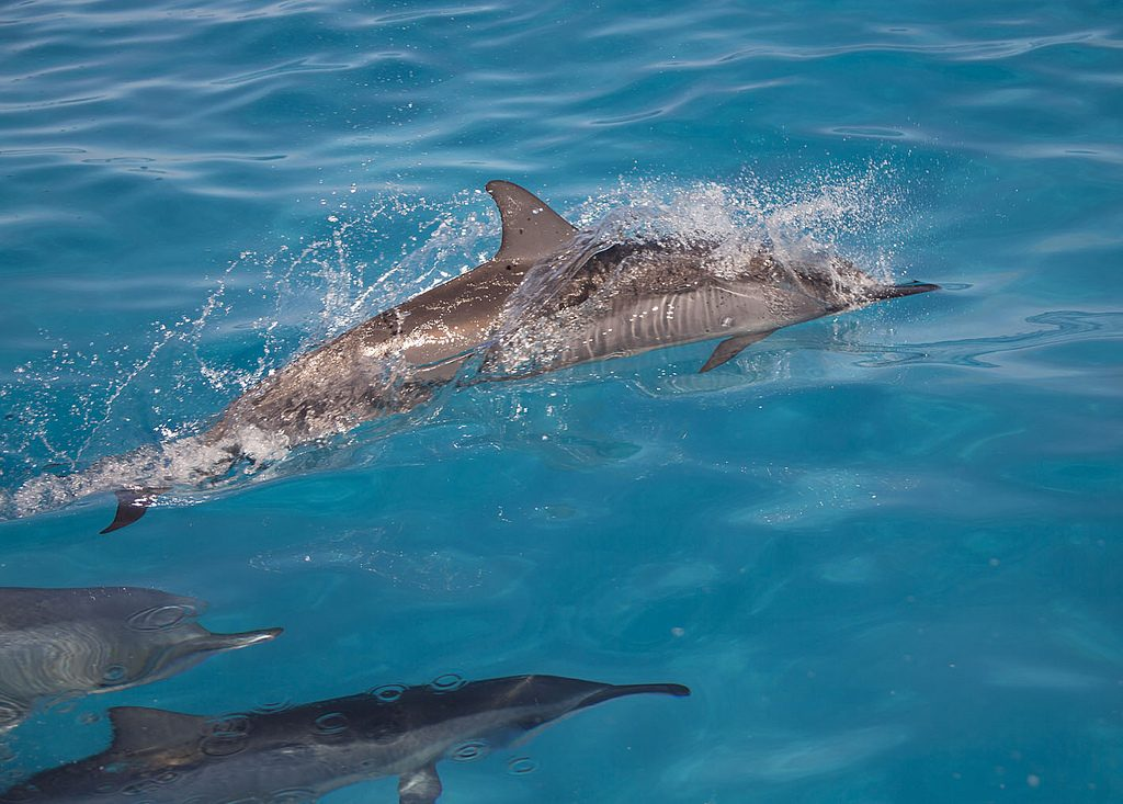 Spinner dolphins Photographer credit: NOAA/Andy Collins