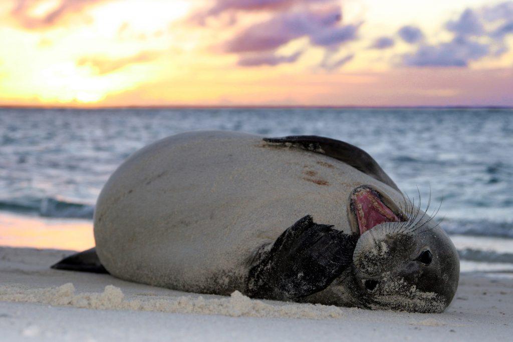 Hawaiian Monk Seal Photographer credit: Mark Sullivan NMFS Permit 10137-07/NOAA