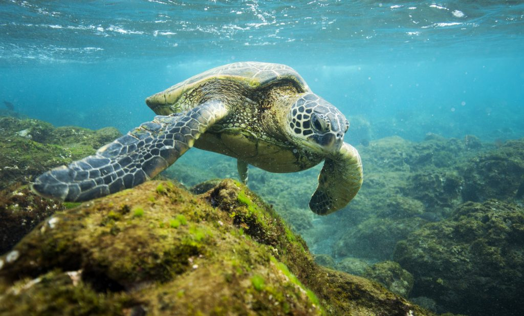 Sea turtle Photographer credit: Lee Gillenwater, The Pew Charitable Trusts
