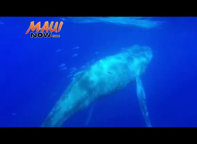 VIDEO: Captain Hall (The Wiki Wahine, Ultimate Whale Watch), NOAA's West Maui Response team (MMHSRP Permit #18786)