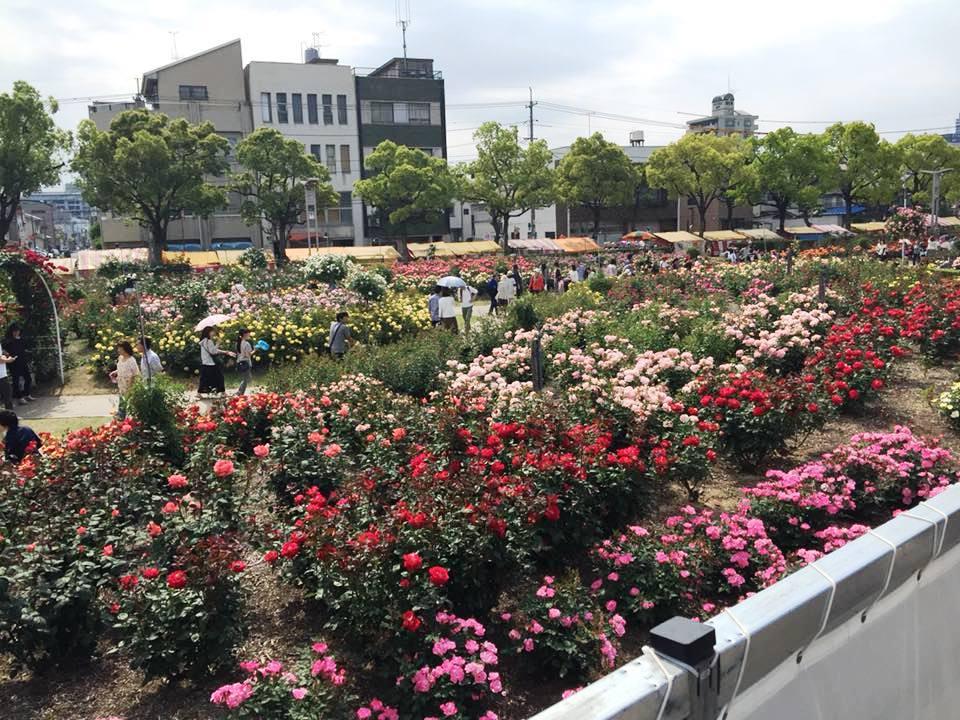 Fukuyama roses. Image courtesy: County of Maui.