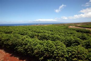 MauiGrown Coffee field, part of a 500-acre estate. Courtesy photo.