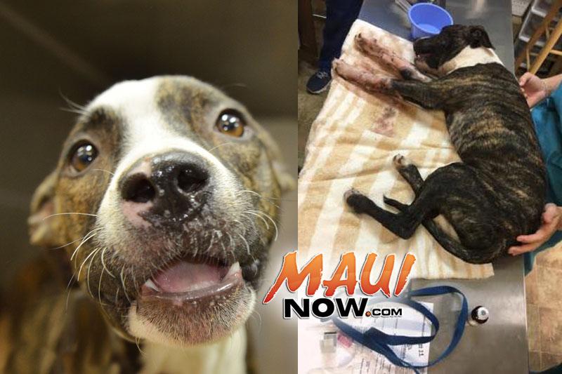 Addie. PC: Maui Humane Society