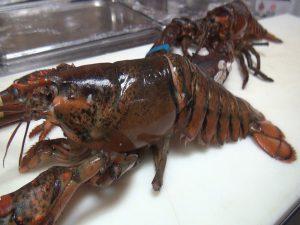 Live lobster, fresh from Kona at Da Shrimp Hale in Kahului. Photo by Kiaora Bohlool.