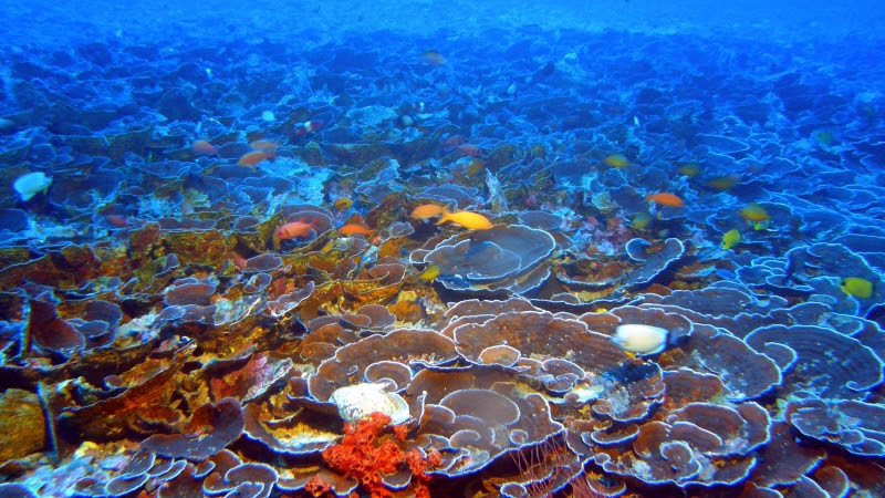 Mesophotic coral ecosystems, such as this one found at 230 feet in Maui's 'Au'au Channel, are populated with many of the same fish species found on shallow reefs.(NOAA and Hawaii Undersea Research Laboratory)