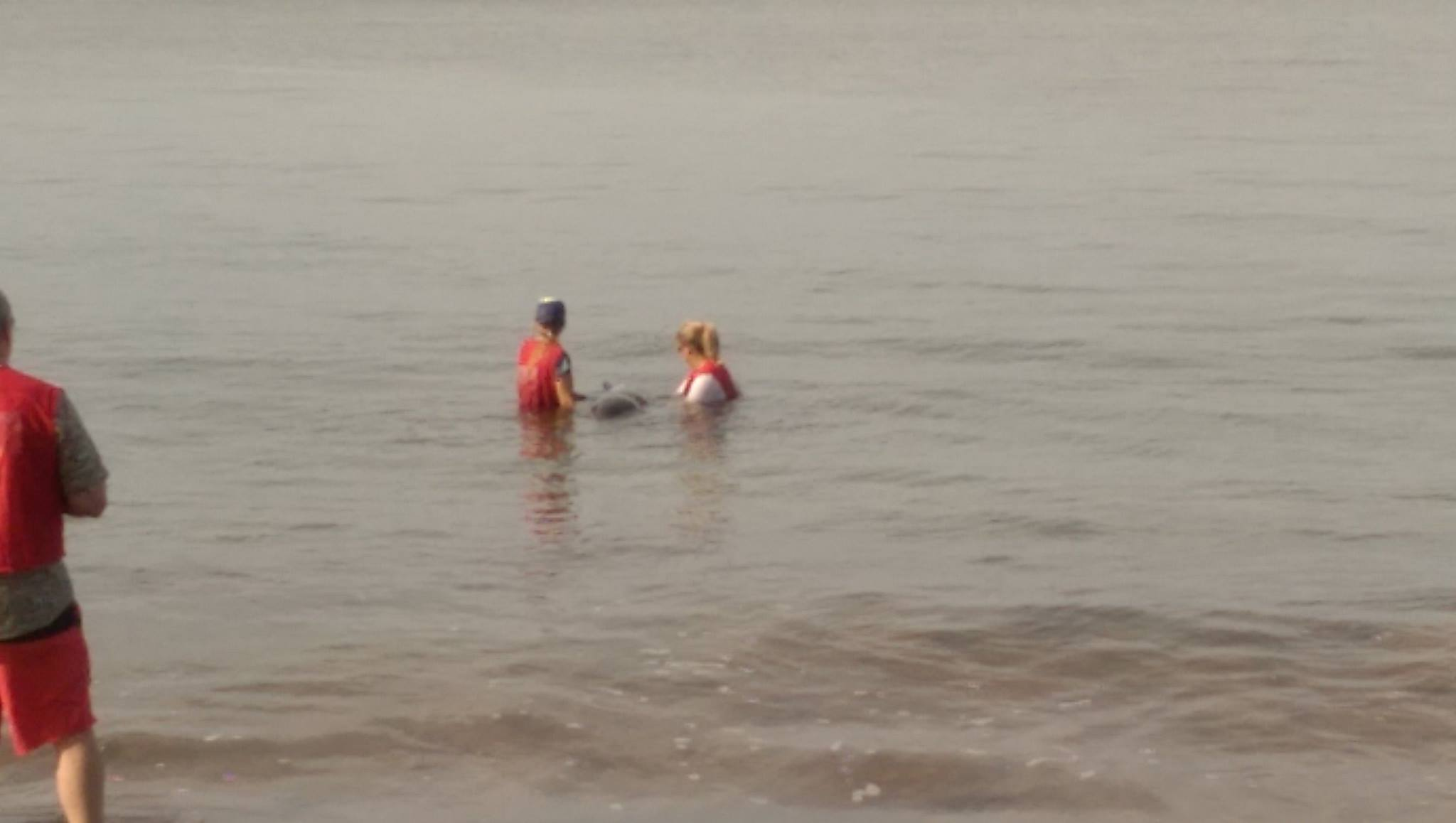 Marine mammal rescue at Sugar Beach in South Maui, 11.22.16. PC: Scot Prince