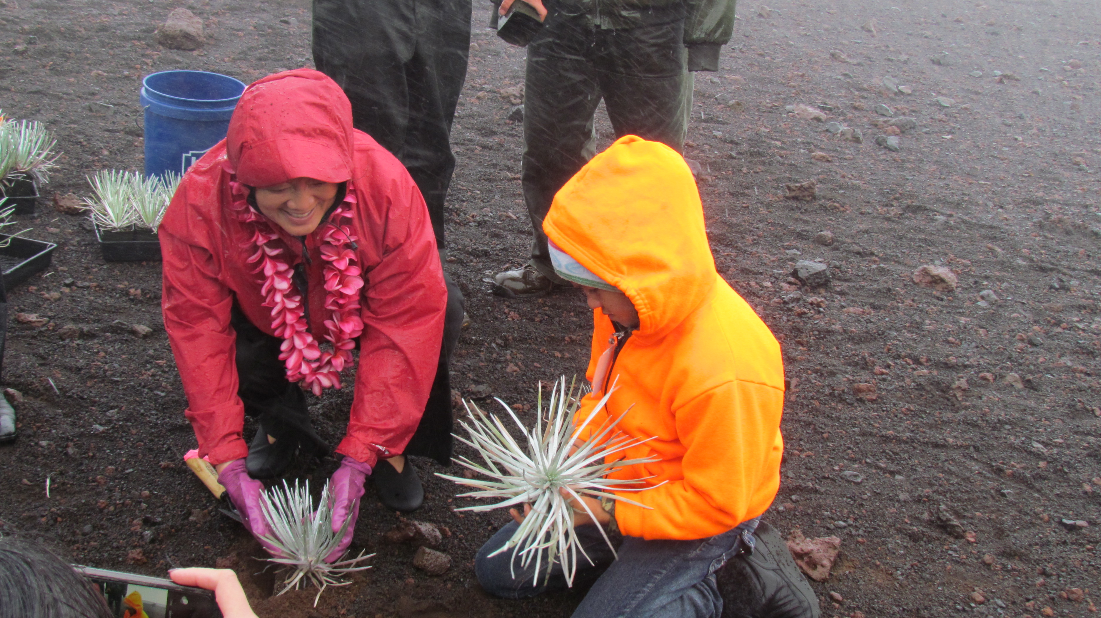 Hirono plants silverswords with local students.