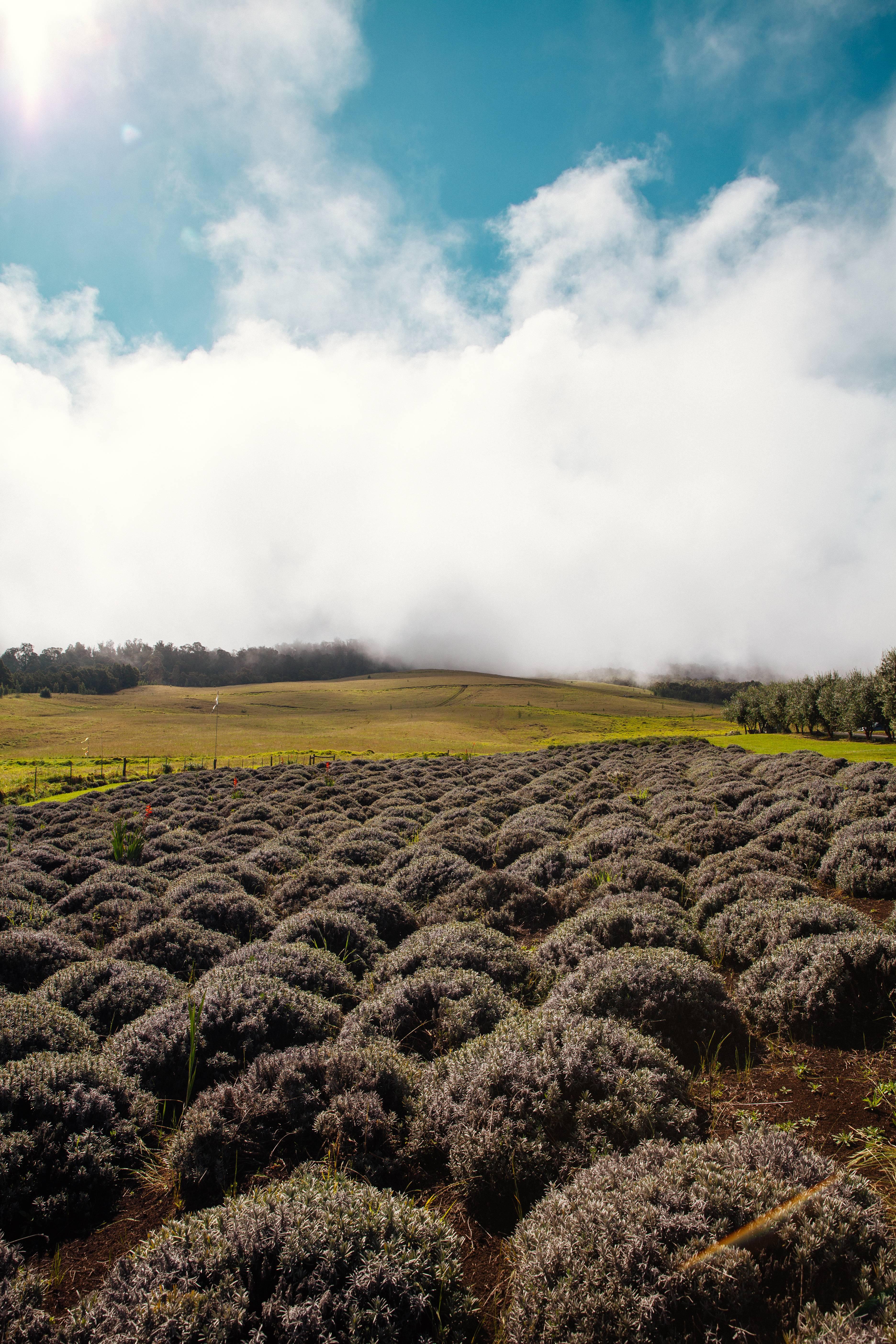 Alii Kula Lavender Farm. PC: Tiffany Mitchell/Hawaiʻi Tourism Authority.
