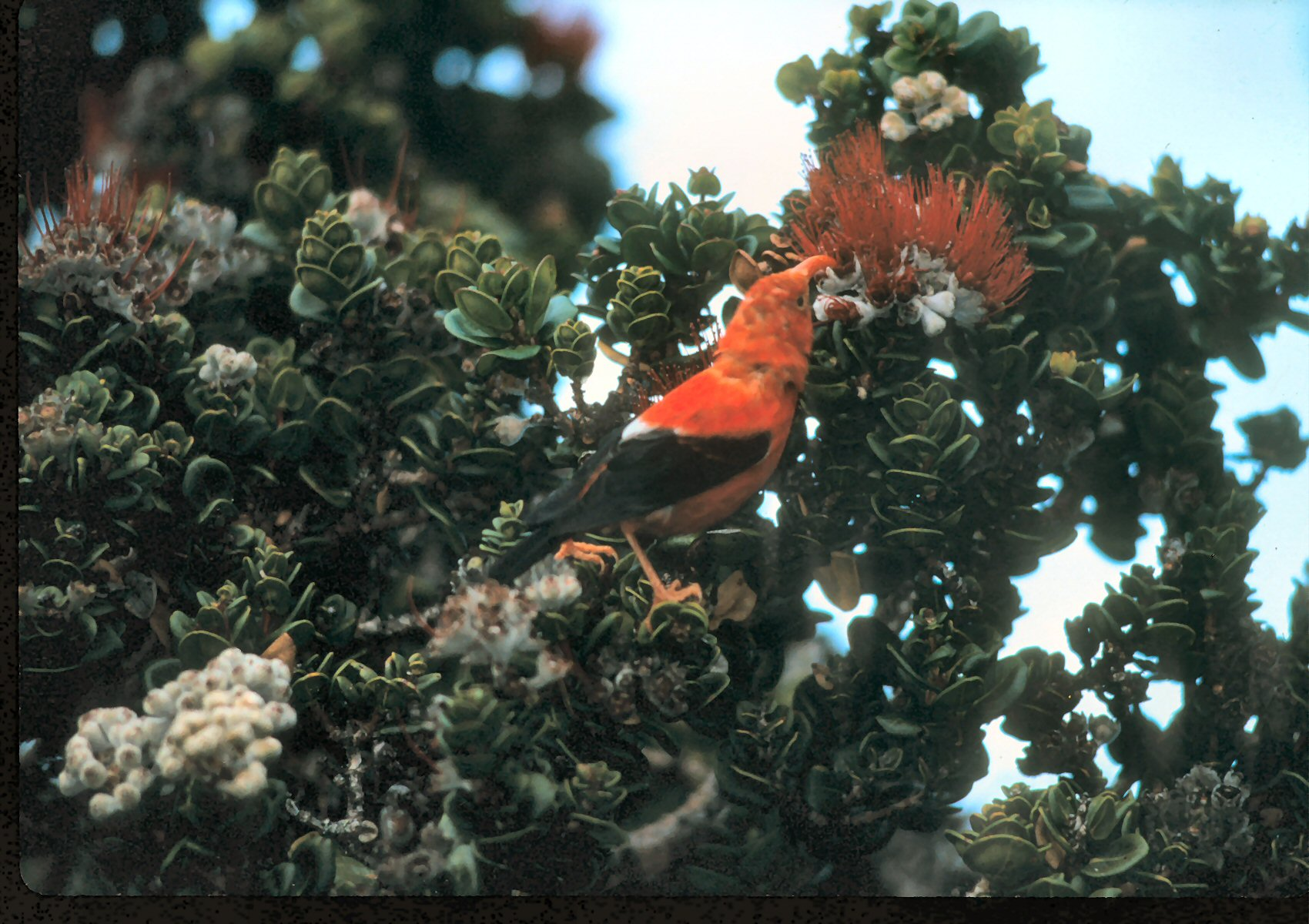 Lawsuit Aims to Protect ʻIʻiwi, Threatened Iconic Hawaiian Forest Bird