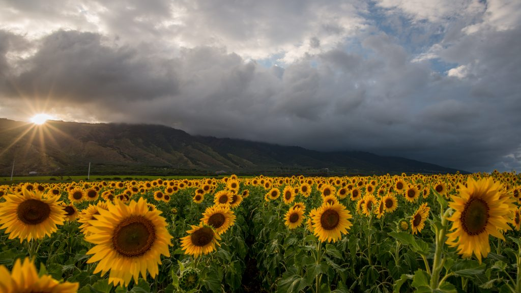 maui now sunflowers in bloom earth day tours filling up fast