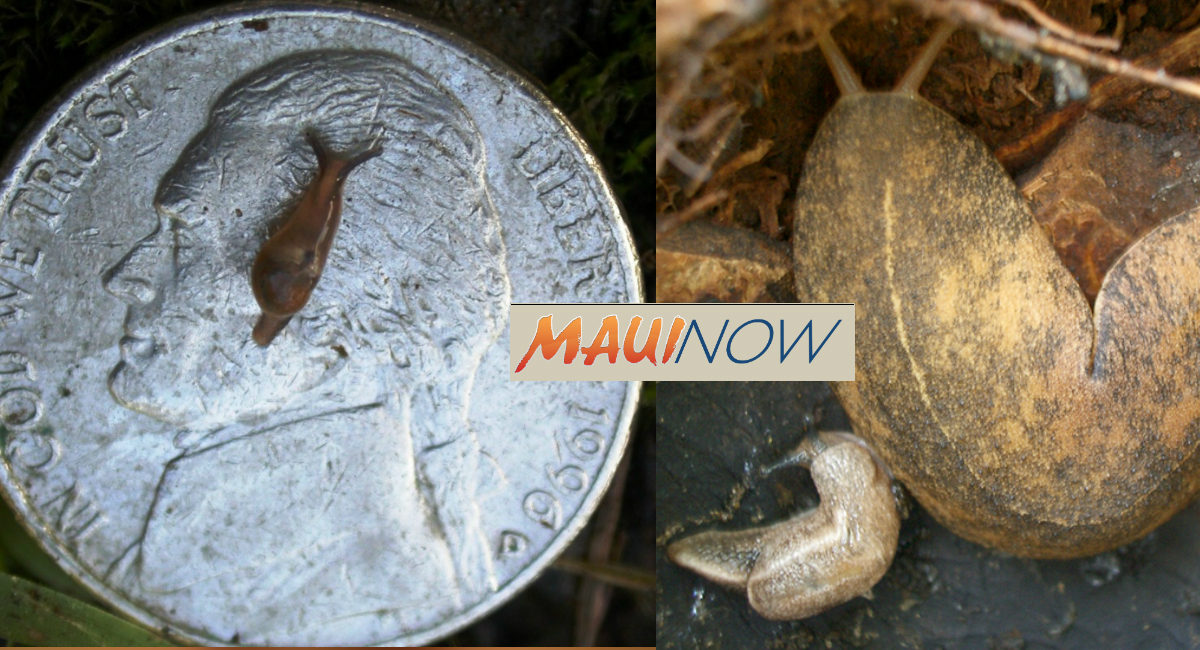 Two More Rat Lungworm Cases Confirmed in Hawai'i