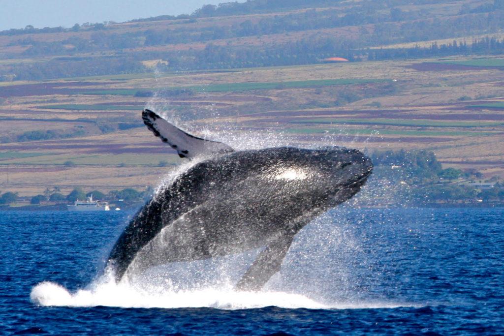 Maui Whale Festival 2018: Calendar of Events | Maui Now | Hawaii News