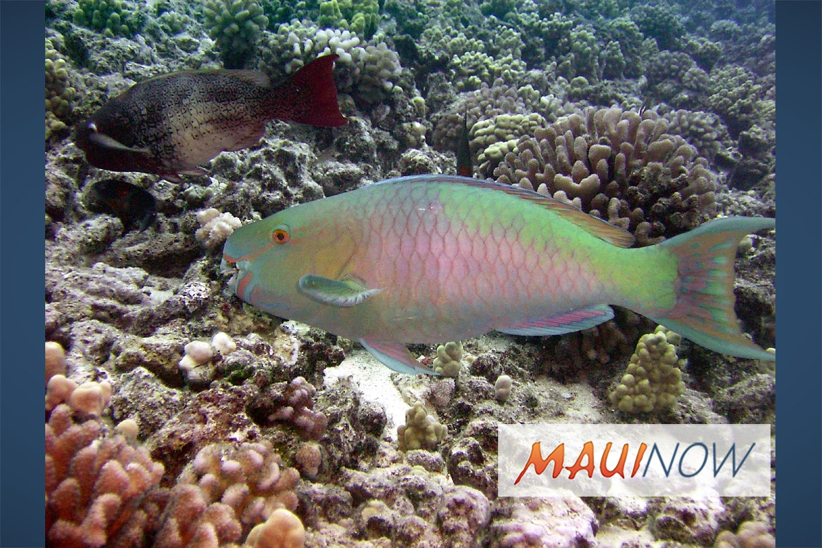 Maui now study finds overfishing primary cause of reef for Fish of hawaii