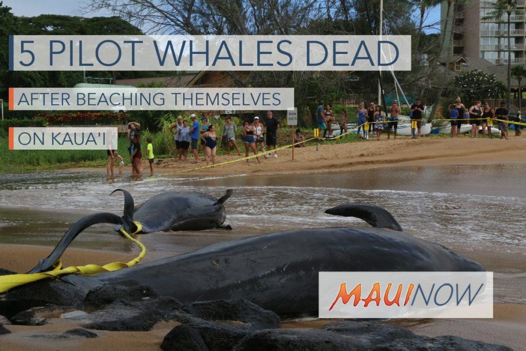 Maui Now 5 Pilot Whales Dead After Beaching Event On Kauai