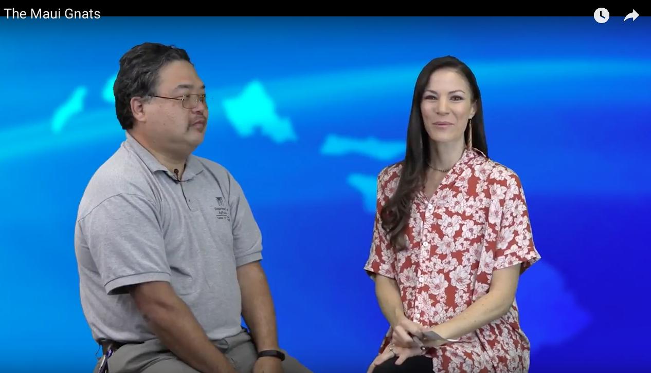 VIDEO: Does Maui Have a Gnat Problem?