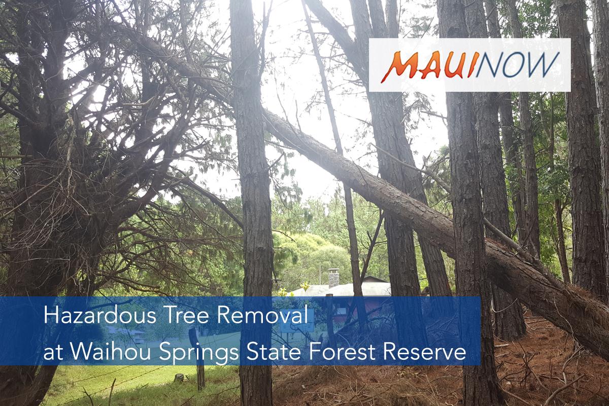 Hazardous Tree Removal This Week at Waihou Springs