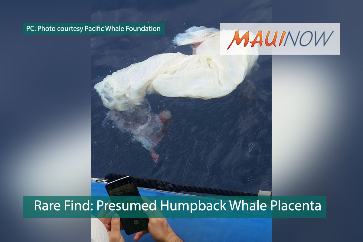 Rare Find in Maui Waters: Presumed Humpback Whale Placenta