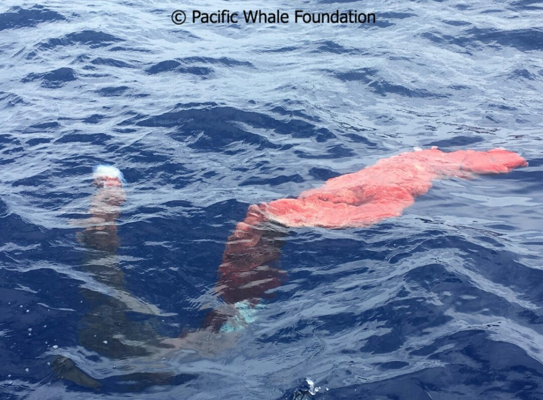Second Presumed Humpback Whale Placenta Recovered Off Maui
