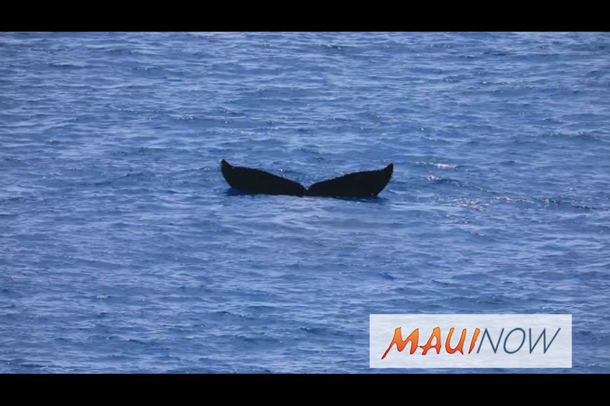 Whale Tail: What it Means When a Humpback Does a Headstand