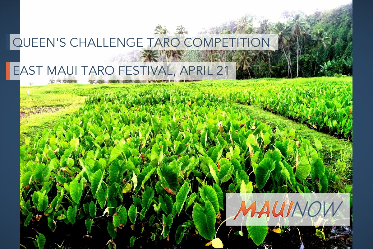 Taro Farmers Get Ready for Queen's Challenge Taro Competition
