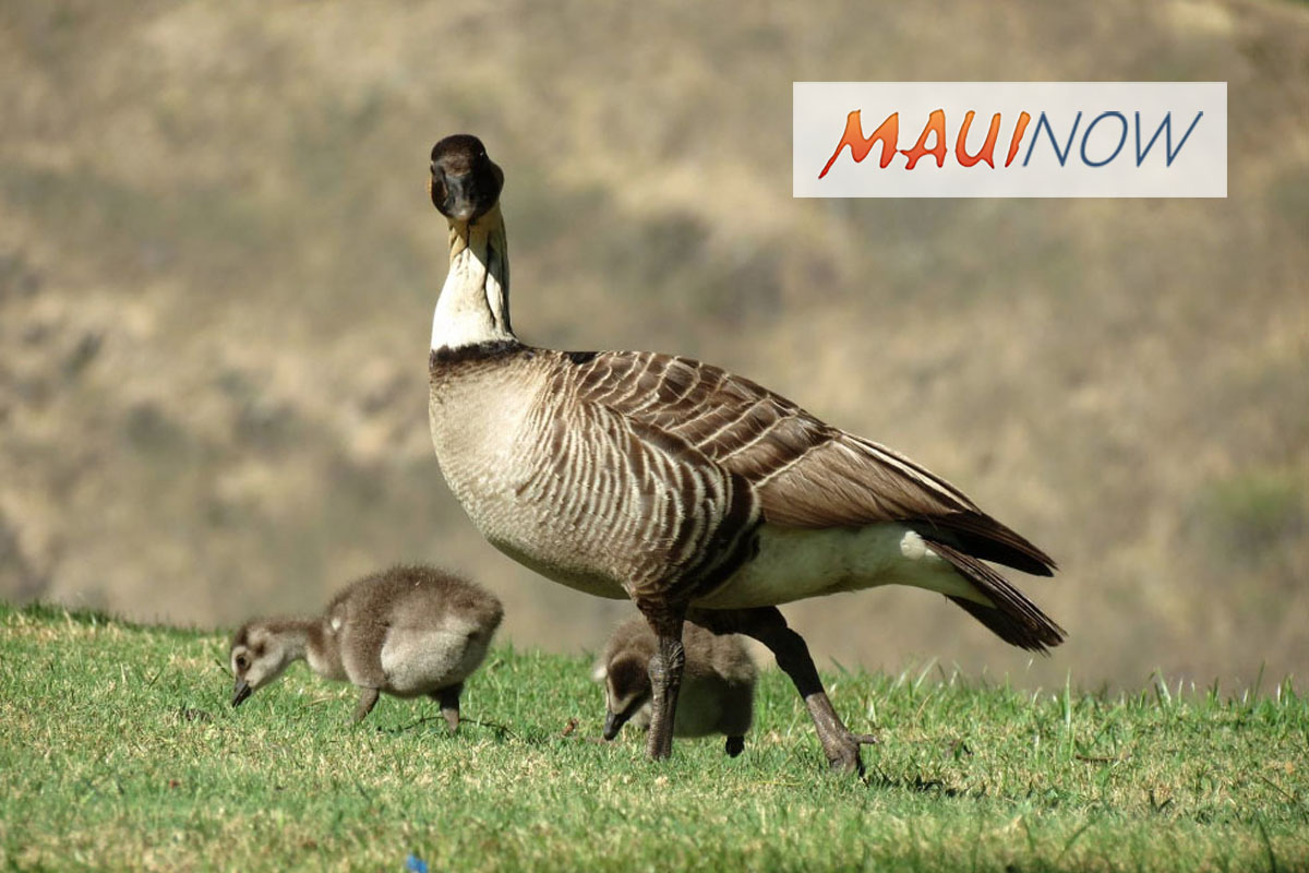 Permit Sought to Aid in Recovery of Endangered Nēnē