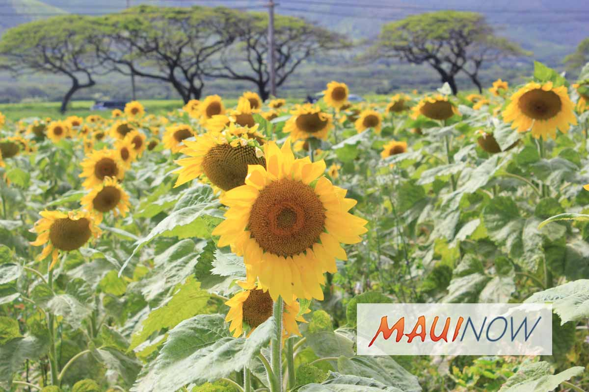 Maui Sunflower Farm Celebrates Earth-Friendly Initiatives