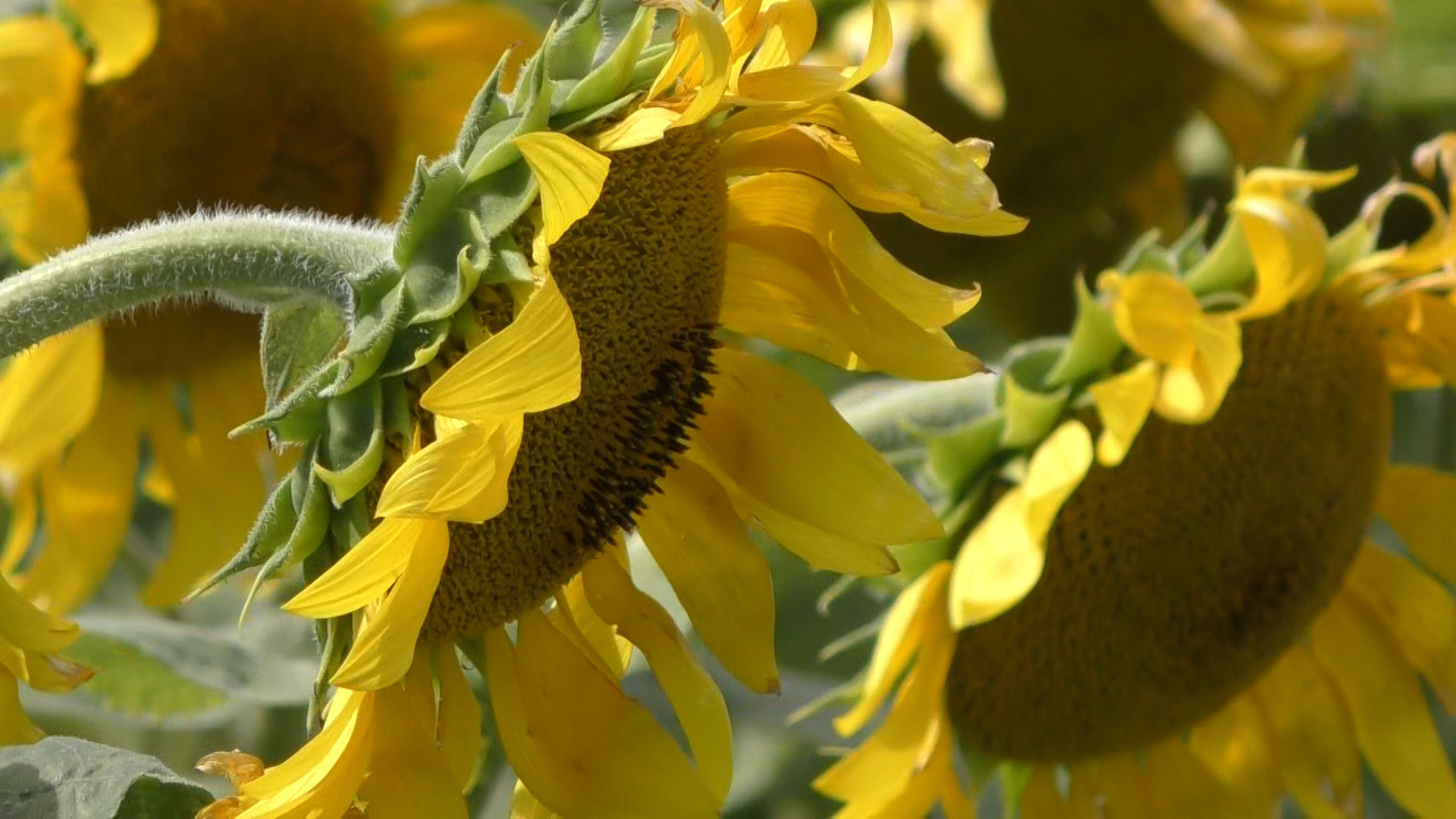 Get the Scoop on those Maui Sunflowers!