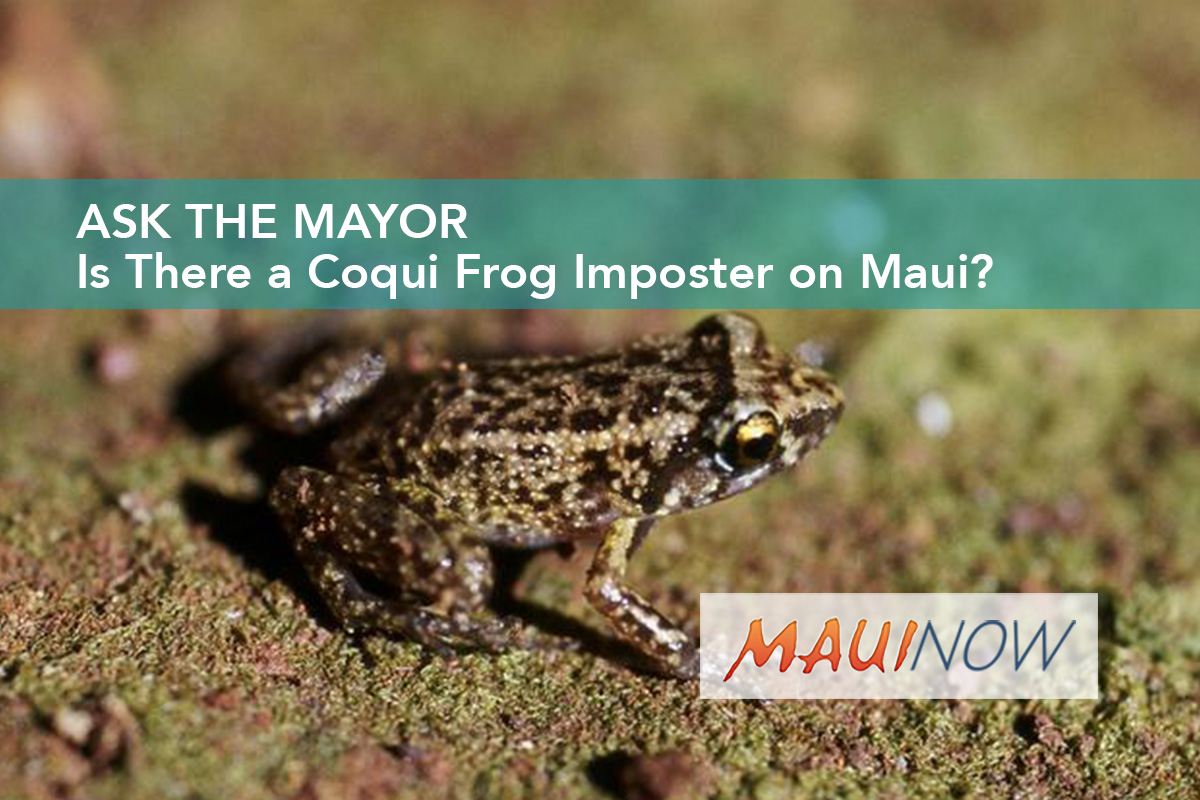 Ask the Mayor: Is There a Coqui Frog Imposter on Maui?