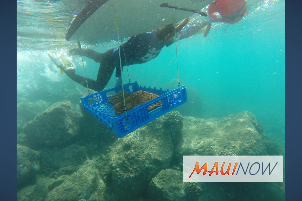Nursery Grown Native Corals Restoring Natural Reefs