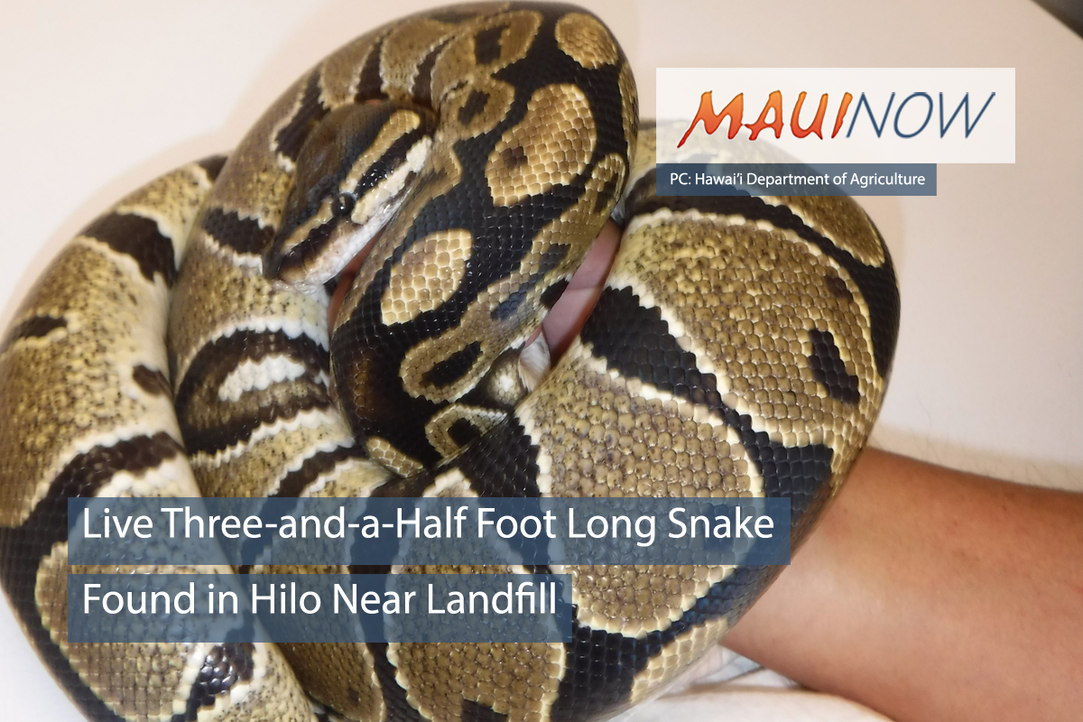 Live Ball Python Snake Found in Hilo