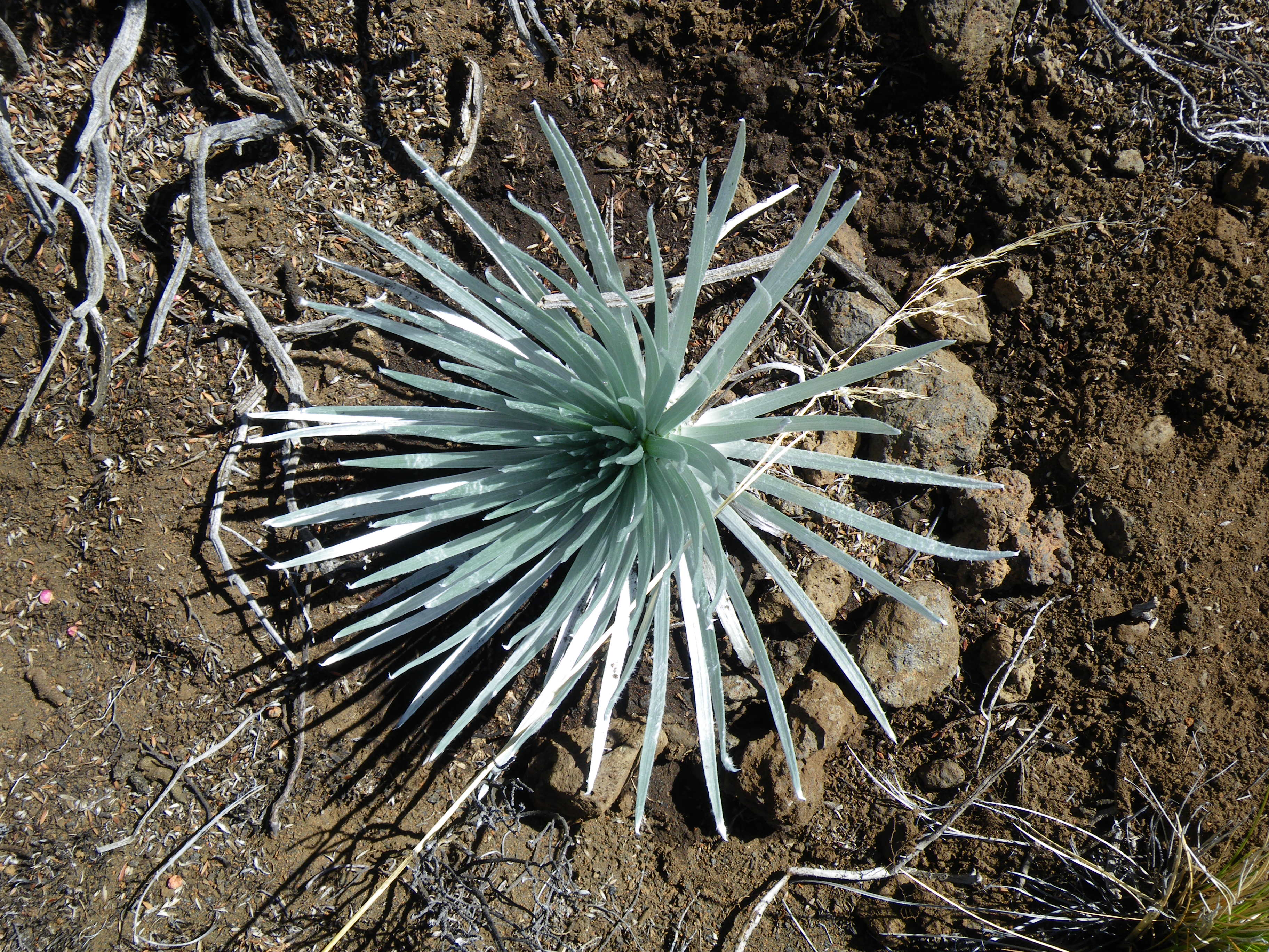 Haleakalā National Park Rangers Recover Poached Silverswords