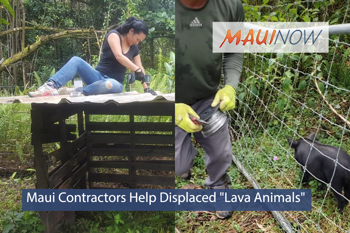 "Maui Contractors Help Displaced ""Lava Animals"""