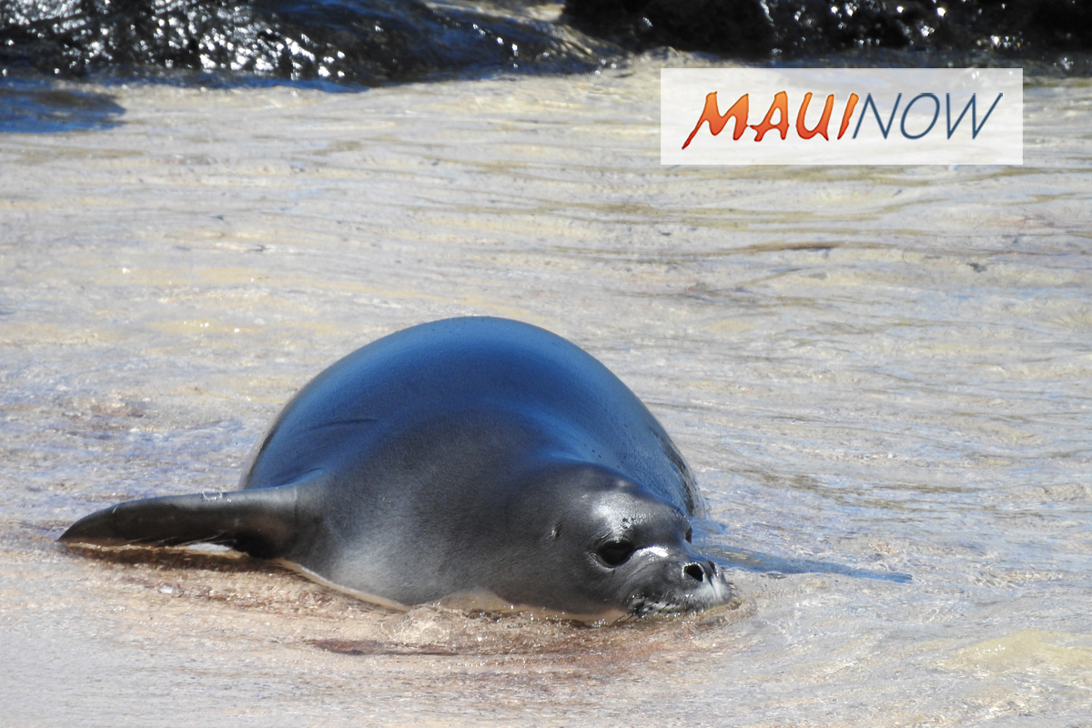 Hawaiian Monk Seal Deaths on Moloka'i Under Investigation
