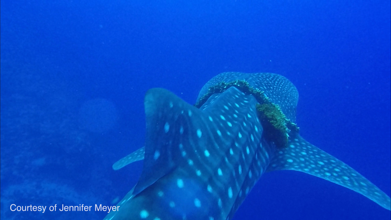 Entangled Whale Shark Freed Off Lānaʻi