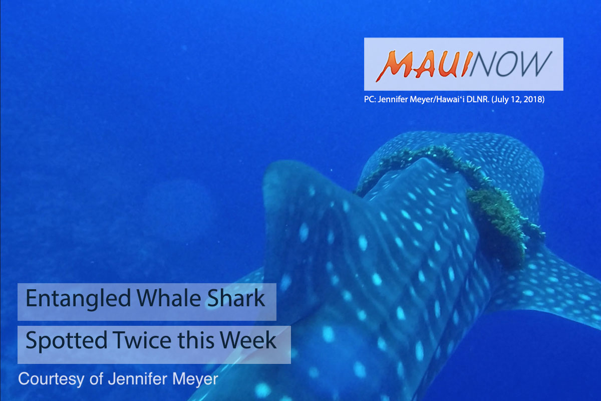 Entangled Whale Shark Spotted Twice this Week