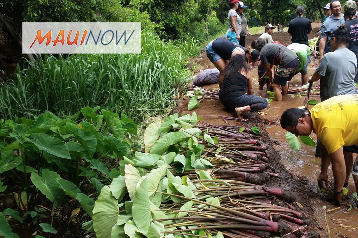 VIDEO: First Kalo Harvest in Kahoma Valley in 130 years