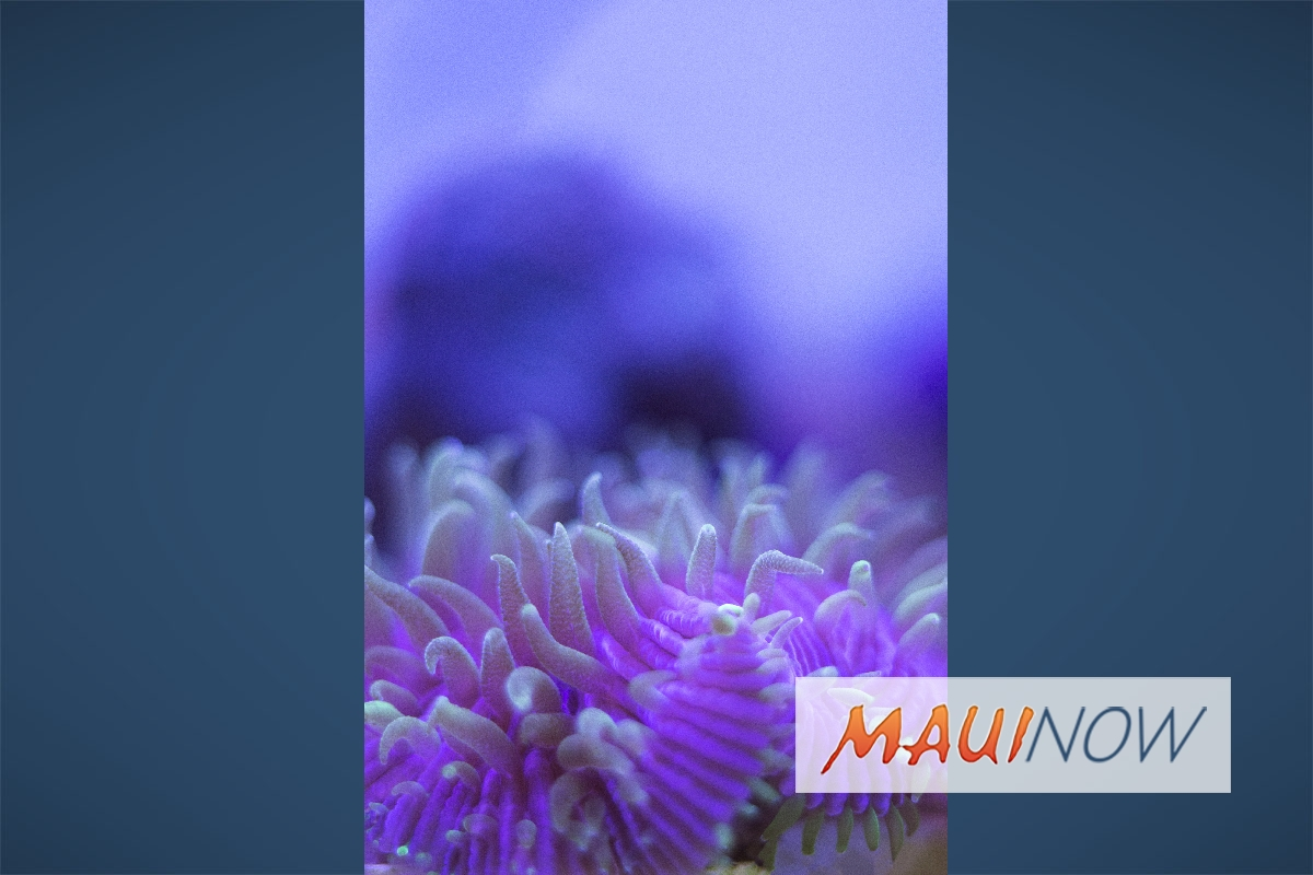 Maui Ocean Center to Host Coral Spawning Event
